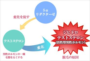 5α還元酵素+テストステロン→DHT